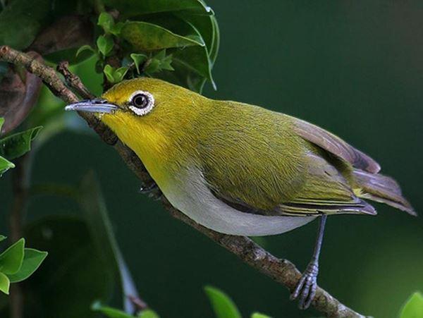 Mơ thấy chim vành khuyên báo mộng điềm hên hay xui?