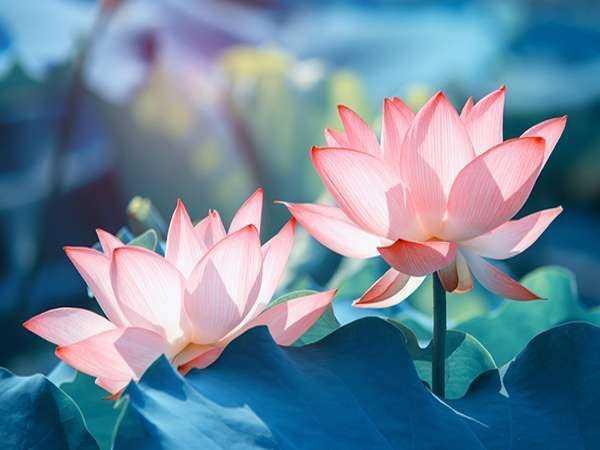 Mơ thấy Hoa sen là điềm gì