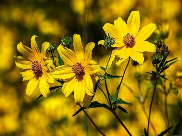 Mơ thấy hoa vàng là điềm báo gì